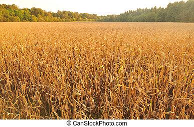 Corn field, aerial view