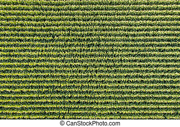 corn field aerial view
