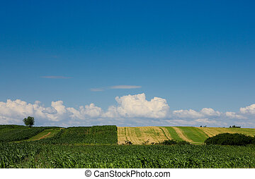 corn field against blue sky