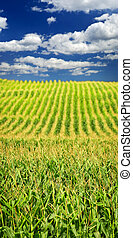 Corn field - Agricultural landscape of corn field on small ...