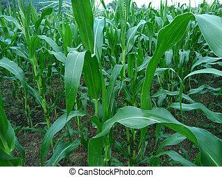 Corn field agriculture. Green nature. Rural farm land in summer. Plant growth. Farming scene. Outdoor landscape. Organic leaf. Crop season