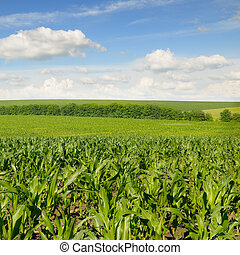 corn field and beautiful sky