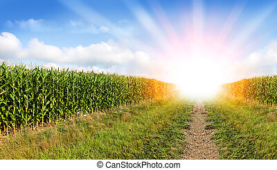 Corn field and Sunray - Beautiful Sunburst on the green corn...