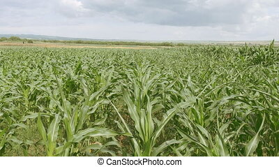 Corn field blowing in the wind