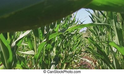 Corn field corn farm farming steadicam. green grass agriculture united states the nature video usa motion corn farm