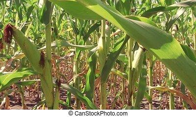 Corn field corn farm steadicam. green grass agriculture...