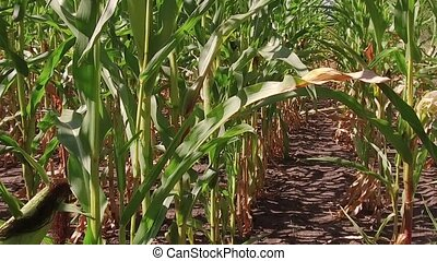 Corn field corn farm steadicam. green grass agriculture united states the nature usa slow motion video corn farm