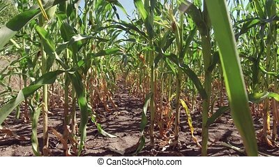 Corn field corn farm steadicam. green farming grass agriculture united states the nature video usa motion corn farm