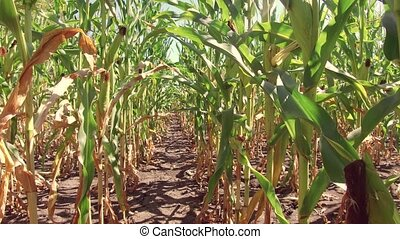 Corn field corn farm steadicam. green grass agriculture united states the nature video usa motion corn farming farm