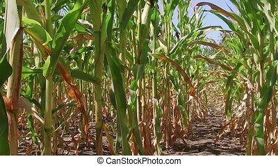 Corn field corn farming farm steadicam. green grass...