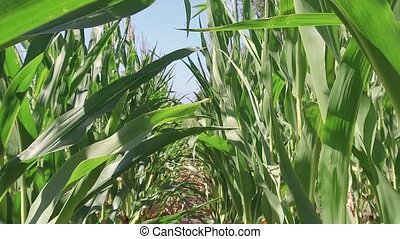 Corn field corn farming farm steadicam. green grass agriculture united states the nature video usa motion corn farm