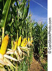 Corn field at Portugal.