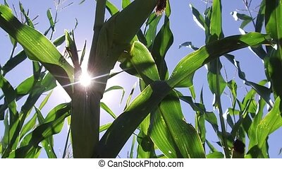 Corn field corn motion farm steadicam farming video. green grass agriculture united states nature usa corn farm