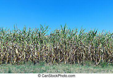 Corn field crop