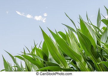 Corn field detail
