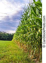 Corn field edge