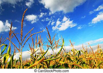 Corn field - Farm field with growing corn under blue sky