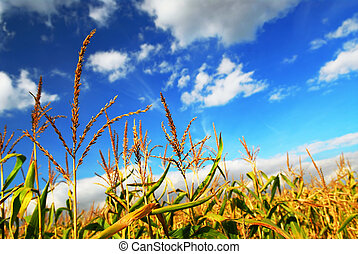 Farm field with growing corn under blue sky
