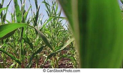 Corn field farming corn farm steadicam. green grass...