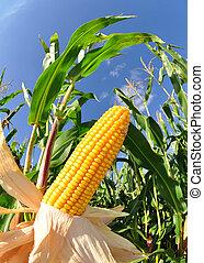 Corn field - fisheye photo