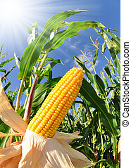 Corn field - fisheye view