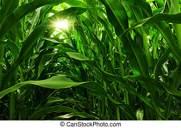 Corn Field - Green field of young corn under the sunlight