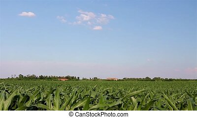 Corn field in agricultural rural landscape on a bright sunny...