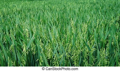 Corn Field In Breeze - Large corn field blowing in the wind