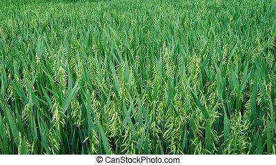 Corn Field In Breeze