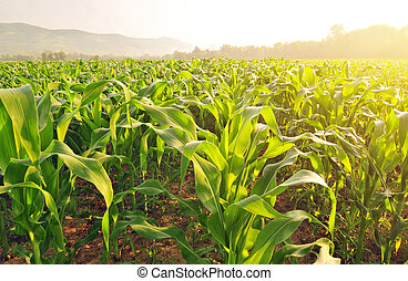 Corn field in early morning light