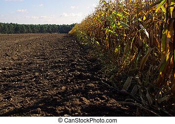 corn field in fall 01