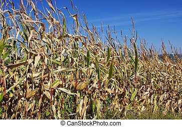 corn field in fall