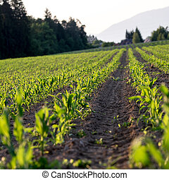 Corn field in late spring