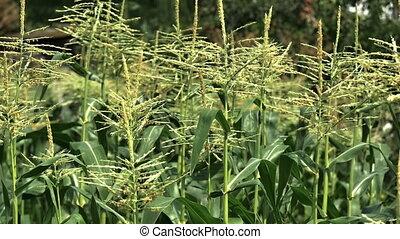 corn field in little farm