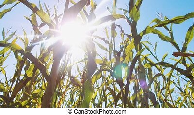 corn field in sunset. the Corn field and sky with beautiful...