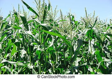 corn field in the farm