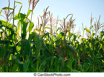 Corn field in the morning
