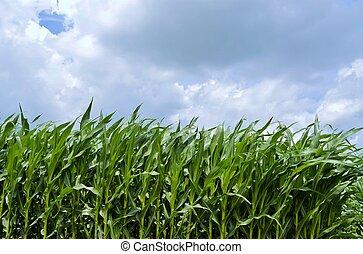 Corn Field in the summer