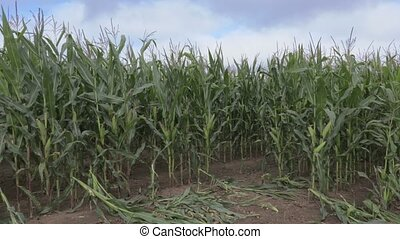 Corn field in windy day