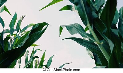 Corn crops and sky low angle