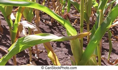 Corn field motion corn farm steadicam farming. green grass agriculture united states the nature video usa corn farm