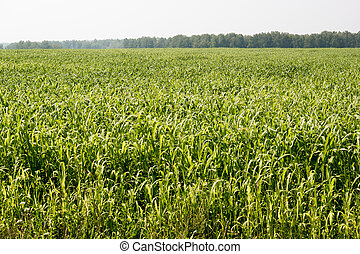 Corn field on a hot day