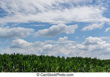 Corn field on a summer day