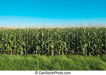 corn field on a sunny day