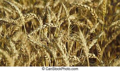 Corn field in detail in late summer