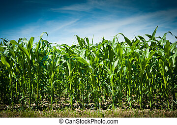 Corn field under blue sky with white clouds