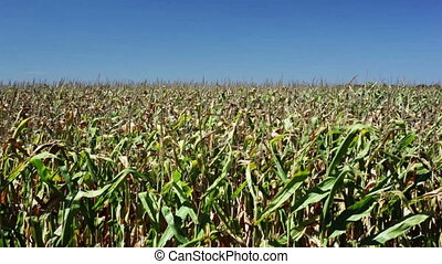 Corn field - Vibrant corn field blowing in the wind on a...