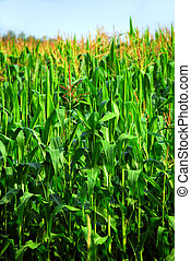 Corn field - Tall green corn growing in a field close up