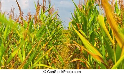 corn field, time-lapse with crane