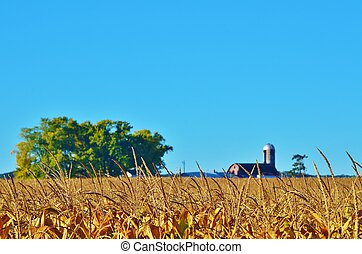 Corn field with a barn and tree.